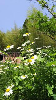 黄色の花の写真・画像素材[1478203]