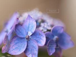 紫陽花アップ画像の写真・画像素材[1472408]