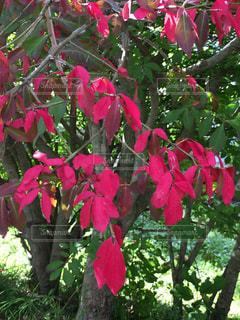 錦木の紅葉の写真・画像素材[1480914]