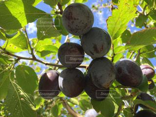枝からぶら下がっていり果物 プルーンの写真・画像素材[1533018]