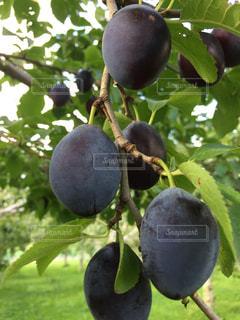 枝からぶら下がって果物 プルーンの写真・画像素材[1533019]