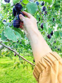 プルーンを持っている手 果物狩りの写真・画像素材[1535462]
