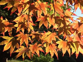 近くのかえでの紅葉のアップの写真・画像素材[1610594]