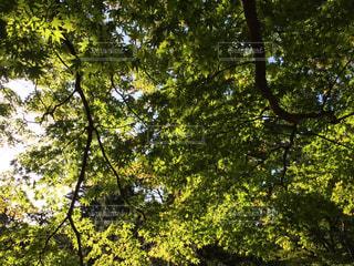 近くの木、かえでのアップの写真・画像素材[1610610]