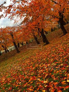 五稜郭公園の紅葉の写真・画像素材[1621509]