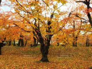 五稜郭公園の紅葉の写真・画像素材[1621511]