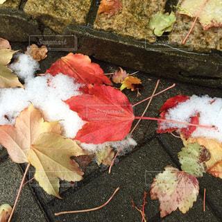 紅葉と雪の写真・画像素材[1637113]