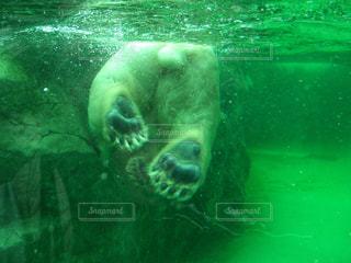 水中を泳ぐホッキョクグマの写真・画像素材[1656961]