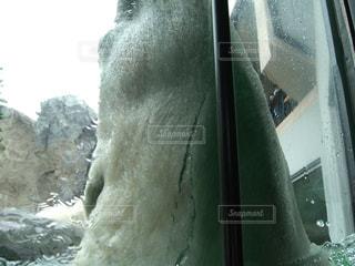 シロクマの顎の写真・画像素材[1656965]