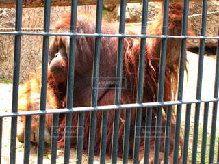 旭山動物園のオランウータンの写真・画像素材[1656970]