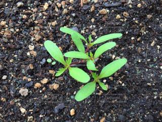 ホウセンカの芽の写真・画像素材[2174630]