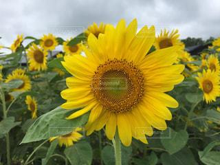 黄色い花の写真・画像素材[2357598]