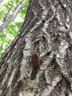 木のクローズアップと蝉の脱け殻の写真・画像素材[2364599]