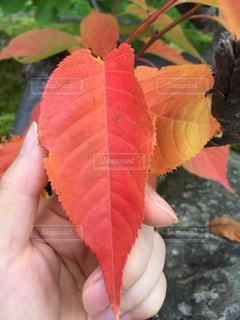 葉っぱを持った手のクローズアップの写真・画像素材[2428131]
