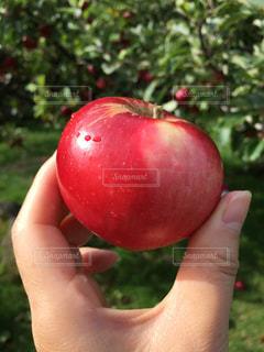 りんごを持つ手の写真・画像素材[2468481]
