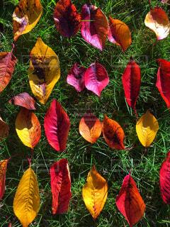 異なる色の葉っぱのグループの写真・画像素材[2710861]