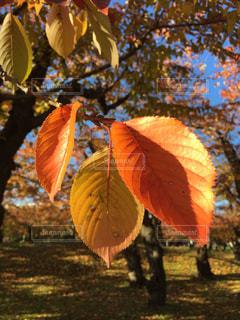 オレンジの木のクローズアップの写真・画像素材[2710881]