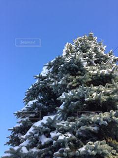 雪に覆われた木の写真・画像素材[2792324]