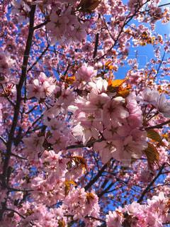 木の上のピンクの花のグループの写真・画像素材[3195985]