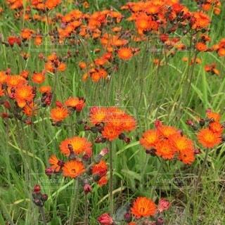 緑の葉のオレンジ色の花の写真・画像素材[3354293]