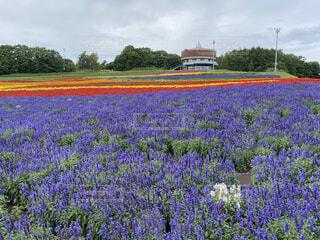 畑の真ん中にある花の写真・画像素材[3624545]