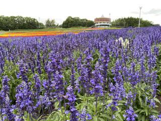 大きな紫色の花が庭にあるの写真・画像素材[3624547]