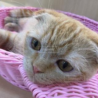 ピンクの籠の中に寝る猫の写真・画像素材[3820787]