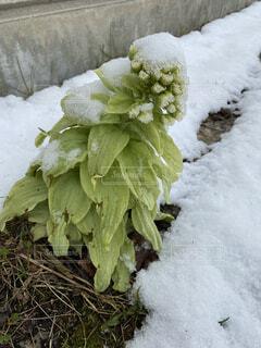 ふきのとうと雪の写真・画像素材[4354488]