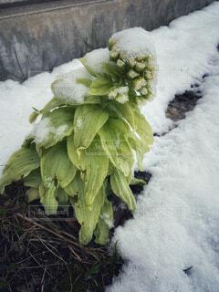 雪をかぶったふきのとうの写真・画像素材[4354771]