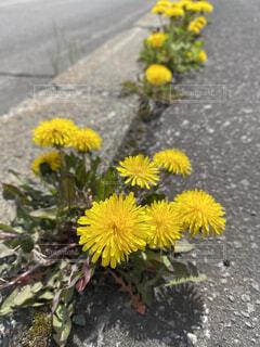 たんぽぽが咲く歩道の写真・画像素材[4417552]