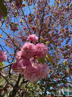 八重桜の写真・画像素材[4433747]