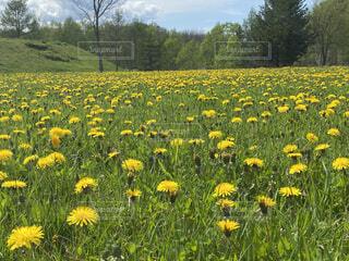 たんぽぽの咲く公園の写真・画像素材[4433757]
