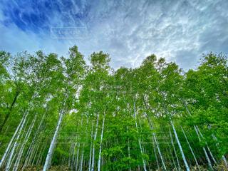 白樺と空の写真・画像素材[4460956]