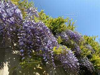 藤の花の写真・画像素材[4539578]