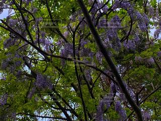 大きな木に野生の藤の花の写真・画像素材[4565656]