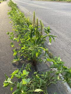 道路の脇にあるルピナスと雑草の写真・画像素材[4565830]