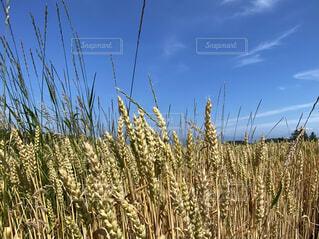 麦畑の写真・画像素材[4647698]