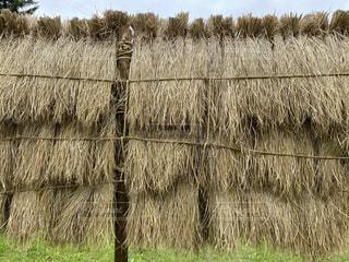 干した藁の写真・画像素材[4647722]
