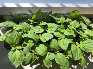 家庭菜園の紫蘇の写真・画像素材[4647745]