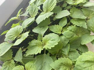 家庭菜園のたくさんの大葉の芽の写真・画像素材[4647754]