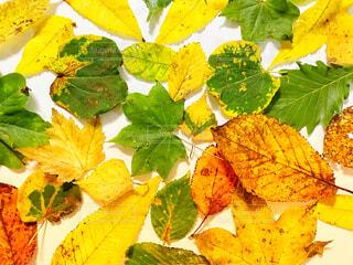 紅葉した葉っぱの写真・画像素材[4809943]