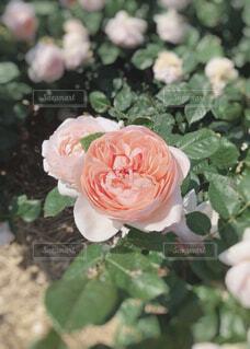 素敵なバラの写真・画像素材[1473267]