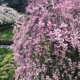 しだれ桜の写真・画像素材[1473299]