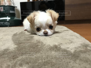 小さな白い犬の写真・画像素材[1473515]
