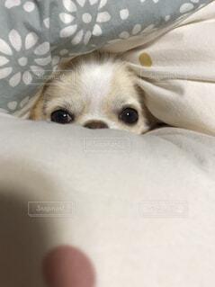 近くにベッドの上で横になっている犬のアップの写真・画像素材[1473538]