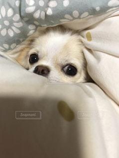近くにベッドの上で横になっている犬のアップの写真・画像素材[1473539]