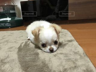 床の上に横たわる小さな茶色と白犬の写真・画像素材[1473542]