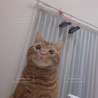 カメラを見ている猫の写真・画像素材[1756123]