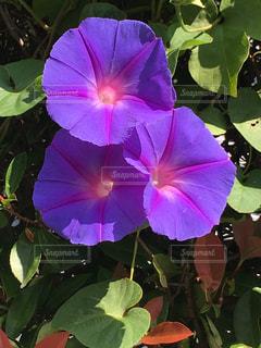 鮮やかに咲くアサガオの写真・画像素材[1524848]