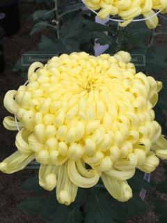 お菓子のような菊の花の写真・画像素材[1583617]